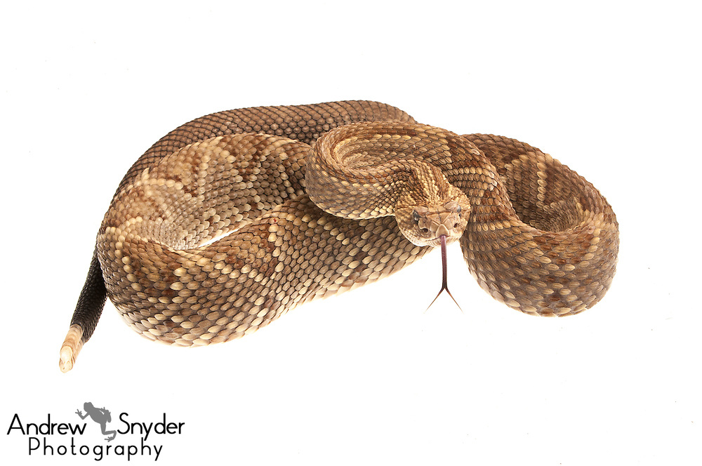 Neotropical rattlesnake (Crotalus durissus) - Kusad Mountain, Guyana.