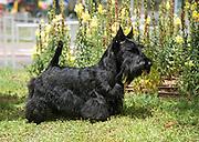 Scottish Terrier pedigree dog photographed outdoors