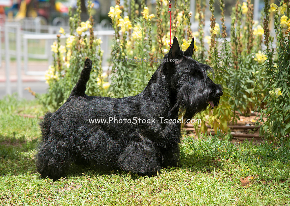 Scottish Terrier pedigree dog photographed outdoors