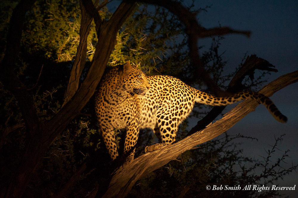 A female leopard approaching an impala carcass is treed by wild dogs as evening approaches.