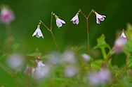 Twinflower ( Linnaea borealis) in pine woodland , in the Cairngorms National Park.