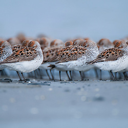Western Sandpipers are resting on the mudflats of Orca Inlet at the edge of Prince William Sound, Alaska