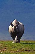 Black rhino, Ngorongoro Conservation Area, Tanzania.