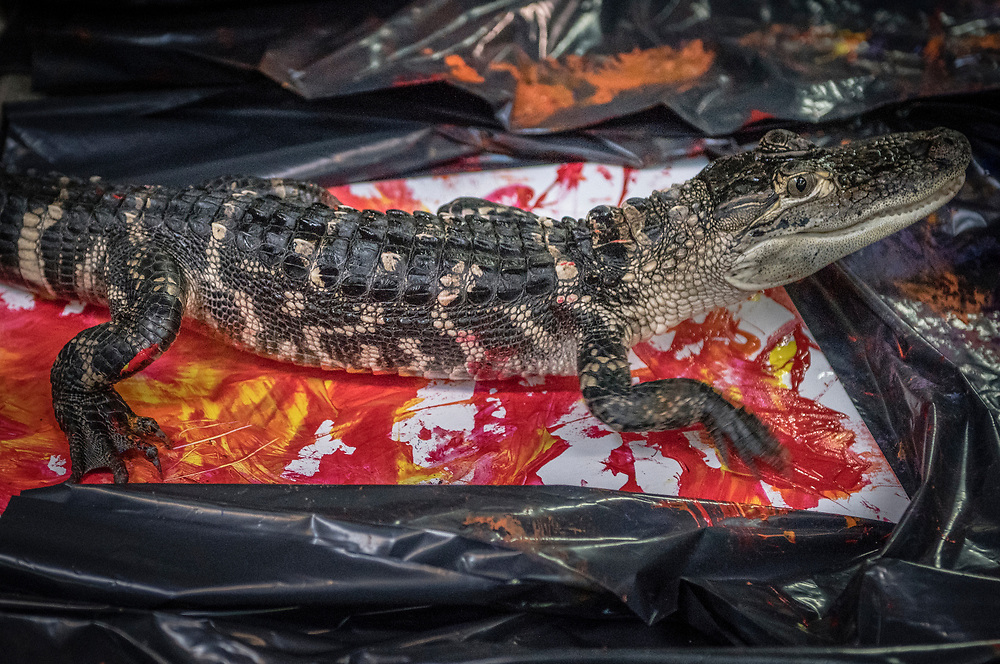 rer031617v/Life/03.16.2017/Roberto E. Rosales <br /> A young American alligator called &quot;The Kraken,&quot; leaves his unique imprint on a canvas that had been sprayed with non-toxic red and yellow paints. <br /> Albuquerque, New Mexico(Roberto E. Rosales/Albuquerque Journal)