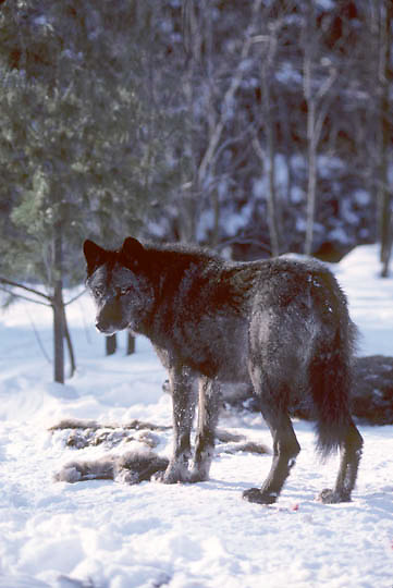 Gray Wolf, (Canis lupus) Subordinate female standing near deer carcass in timber. Mid winter.Captive Animal.