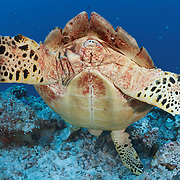 This is a female hawksbill turtle (Eretmochelys imbricata) foraging for food on the reef at Blue Corner in Palau. Her head is facing down while she looks for something to eat, with her rear end flipped up such that it appears that the turtle is performing a handstand. Hawksbill turtles are critically endangered.