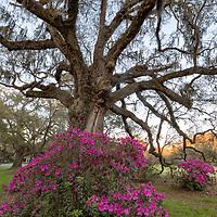 Azalea bushes flank a very large live oak tree at Magnolia Plantation, near Charleston, South Carolina
