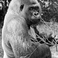 "Black and white portrait of Baraka, a male ""silverback"" western lowland gorilla (Gorilla gorilla), eating, Baraka is the leader of the gorilla group at the National Zoo, Washington, D.C."
