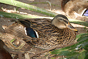This is a photograph of a North American Black Duck.