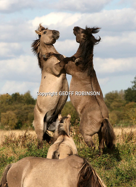 "KONIK HORSES FIGHTING AT WICKEN FEN CAMBRIDGESHIRE...It may look like the plains of America but incredibly this rare shot of two wild stallions sparring was snapped in the English countryside...The two konik horses were spotted fighting on the wetlands of Wicken Fen just 10 miles away from the city of Cambridge...The stallions reared up and boxed with their fore legs in a sight which has rarely been seen in Britain for 4,000 years when the last herds of wild horses roamed these fields...The koniks, which share many characteristics of the now-extinct Tarpan, the original wild horse of Europe's forests, are one of the largest animals ever to be introduced in to the UK...They have been imported to help manage the 325 acre nature reserve...""It is a pretty amazing sight to see two Stallions fighting like this in Britain and it gets the heart racing,"" said Carol Laidlow, conservation grazing warden at Wicken Fen...SEE COPY CATCHLINE Wild stallions fight in England"