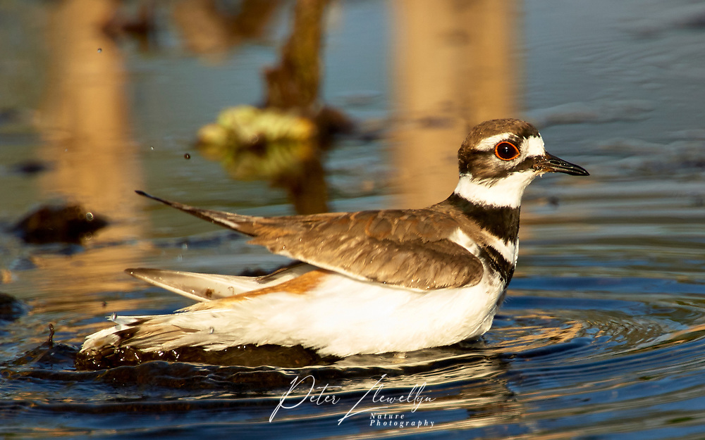 Killdeer (Charadrius vociferus), Arthur R Marshall National Wildlife Reserve - Loxahatchee, Florida, USA   Photo: Peter Llewellyn