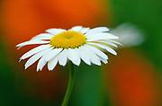common or oxeye daisy (Leucanthemum vulgare or Chrysanthemum leucanthemum) flowers<br />Winnipeg<br />Manitoba<br />Canada