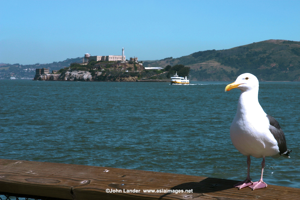 San Francisco Bay, Gull and Alcatraz - San Francisco Bay is a shallow body of water flowing from the Sacramento and San Joaquin rivers from the Sierra Nevada mountains, enters the Pacific Ocean.  San Francisco Bay is surrounded by a contiguous region known as the San Francisco Bay Area, dominated by the large cities of San Francisco, Oakland and San Jose. In its center lies Alcatraz, once a maximum security prison but now part of the US National Park system.