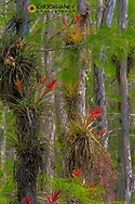 Cardinal airplant in cypress trees in Everlgades National Park, Florida, USA