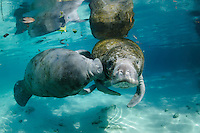 Florida manatee, Trichechus manatus latirostris, a subspecies of the West Indian manatee, endangered. A series chronicling the courting or cavorting behavior between male and female manatees. The male rubs a  receptive female with his snout and whiskers. There is also a hidden fish, bream, Lepomis spp., in the clear blue freshwater. Horizontal orientation with reflection. Three Sisters Springs, Crystal River National Wildlife Refuge, Kings Bay, Crystal River, Citrus County, Florida USA.