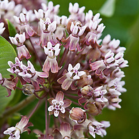 Milkweed (Asclepias syriaca) a North American native perennial.