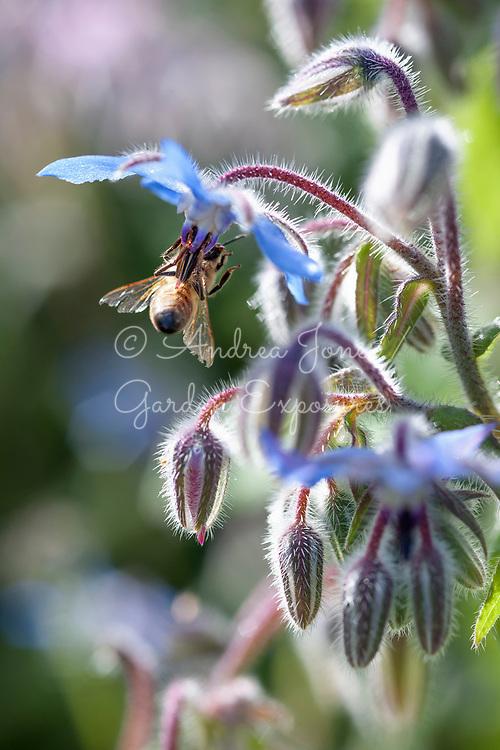 Borage (Borago officinalis) flowers and honey bee