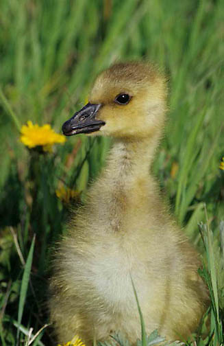 Canada Goose, (Branta canadensis) Young gosling. Spring. Montana