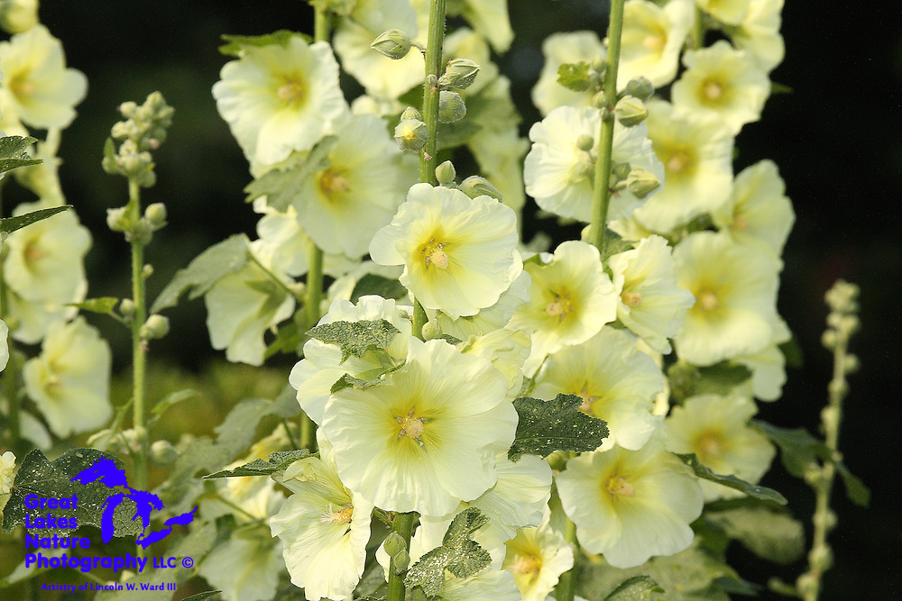 Hollyhocks produce simple, yet beautiful floral clusters on tall stalks starting in late June in Northeast Wisconsin.