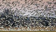 Thousands of snow geese landing at a farm field near Fowler Beach, Milford, Delaware.