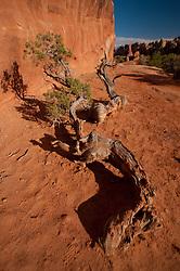 Utah Juniper (Juniperus osteosperma) at Devils Garden, Arches National Park, Utah, US