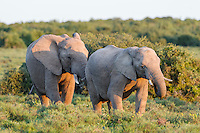 Young African Elephants playfully sparring with one another, Addo Elephant National Park, Eastern Cape, South Africa