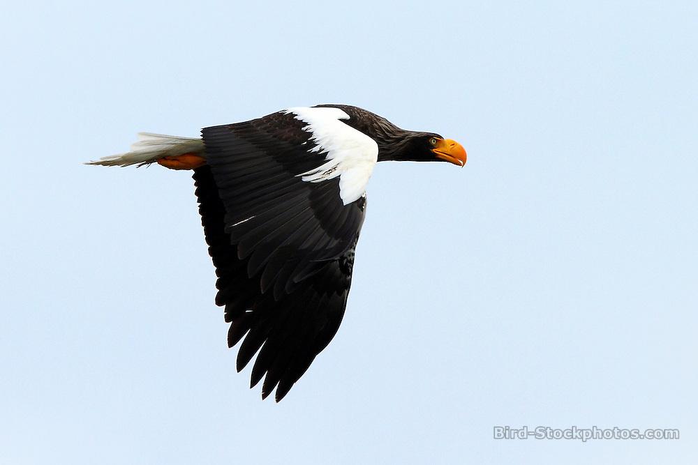 Steller's Sea Eagle, Haliaeetus pelagicus, Zupanova River, Kamchatka, Russia, by Adam Riley