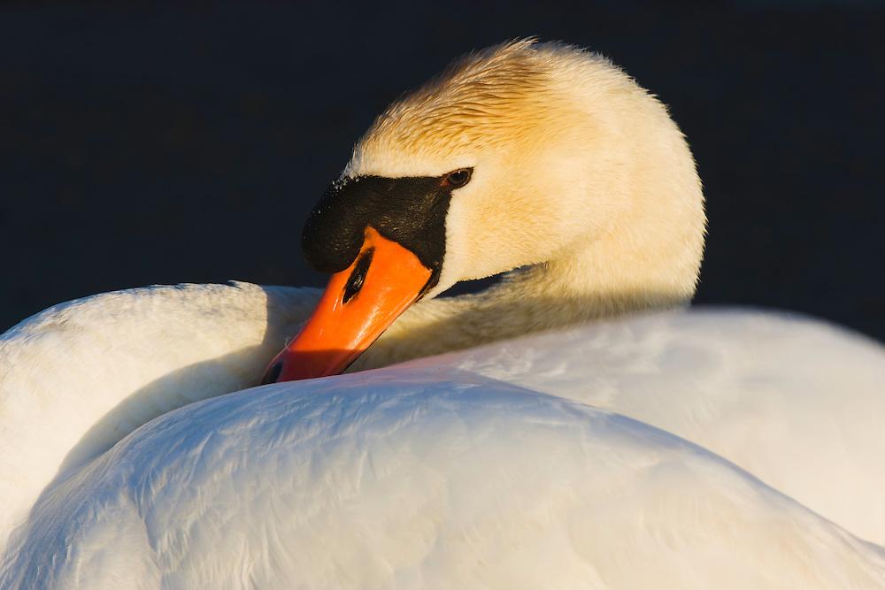 Mute Swan (Cygnus olor), close-up, Pont du Gau, Camargue, France