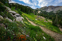 Wildflowers bloom along the abundant hiking trails in Utah's Albion Basin during the Summer months.