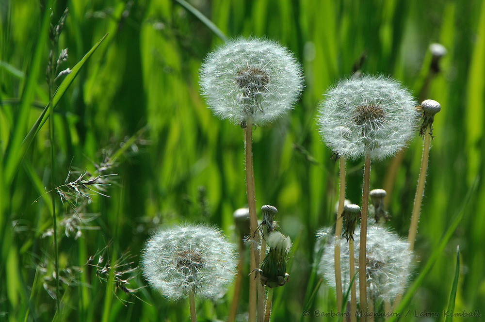Common Dandelion seed heads [Taraxacum officinale]; city park, Jackson, Wyoming