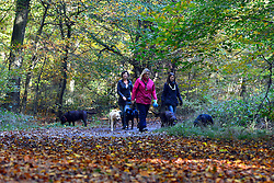© Licensed to London News Pictures. 04/11/2013. Burnham, UK Women walk dogs in the leaves. Autumn sunshine through the trees at Burnham Beeches, South Buckinghamshire on MONDAY 4TH NOVEMBER. The beeches covering 220 hectares is primarily noted for its ancient beech and oak pollards. Photo credit : Stephen Simpson/LNP