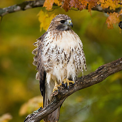 A juvenile red-tailed hawk (Buteo jamaicensis) near First Connecticut Lake in Pittsburg, New Hampshire.