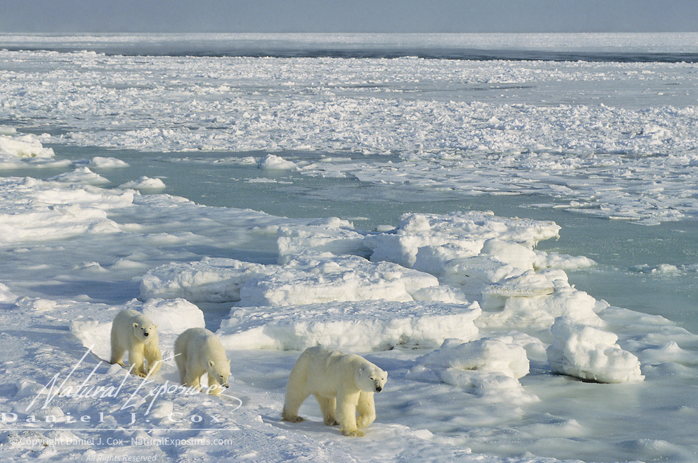 Polar Bear (Ursus maritimus) mother with cubs waiting for Hudson Bay to freeze over. Canada