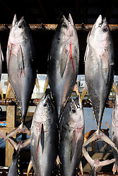 07 May 2010. Venice, Louisiana. Deepwater Horizon, British Petroleum environmental oil spill disaster.<br /> Sport fishermen land yellow fin tuna and other predator species caught to the west of the giant BP oil spill. Nobody is sure how much longer they will be able to catch fish in the region. Charter boat captains, rental camps and hotels are reporting mass cancellations of fishing trips and other vacations to the Gulf  Coast region.<br /> Photo credit; Charlie Varley/varleypix.com