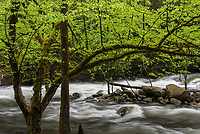 Swift waters in the Middle Prong of the Little River swing past a moss-covered spring green tree along Upper Tremont Road in Great Smoky Mountains National Park.