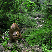 Monkey with baby, Baoguo Si, China (May 2004)