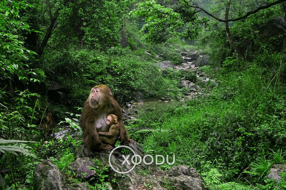 Monkey with baby, Baoguo Si, China (May 2004)