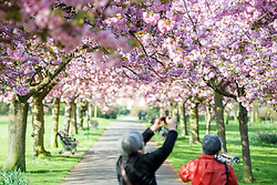 © Licensed to London News Pictures. 10/04/2014. London, UK. Visitors photograph the blossom.  People walk and play amongst the pink cherry blossom in bright sunshine at Greenwich Park in London today, 10 April 2014,The weather forecast is set to be brighter and warmer over the coming days.Photo credit : Stephen Simpson/LNP