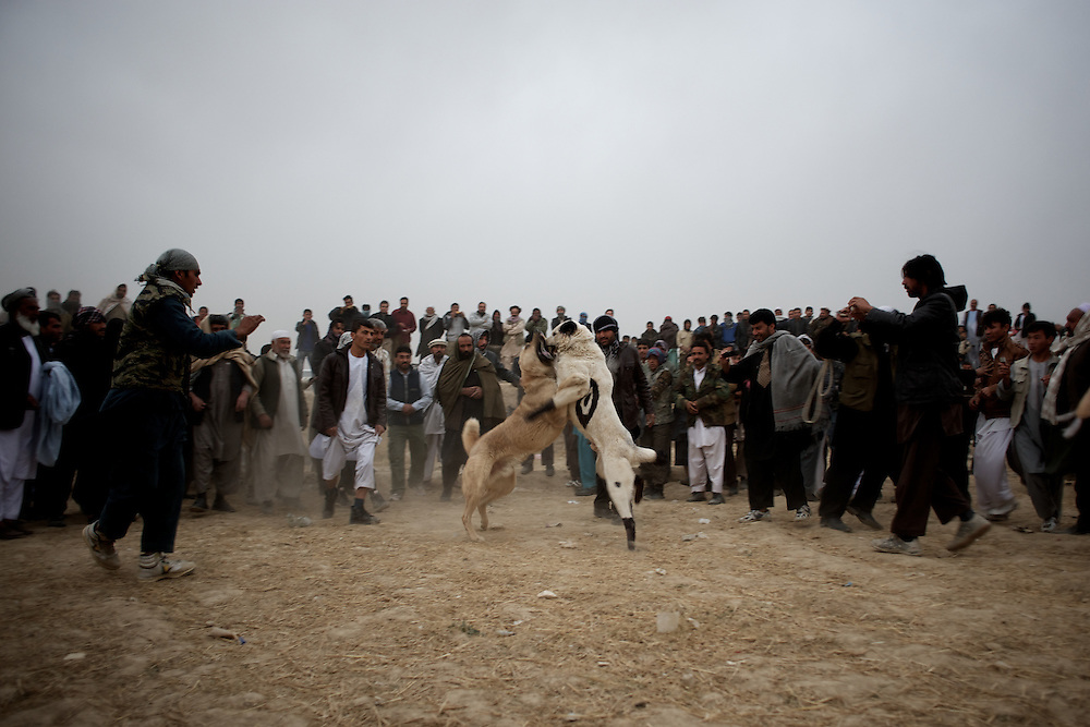 November 16, 2012 - Kabul, Afghanistan: Local men watch a traditional dog fight in a neighbourhood of Kabul. Dog fight, an highly popular activity in Afghanistan, was forbidden under Taliban rule. (Paulo Nunes dos Santos/Polaris)