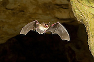 Eastern Pipistrelle (Pipistrellus subflavus): Mammalia: Chiroptera: Vespertilionidae - in flight<br /> TEXAS: Williamson Co.<br /> Cave on Chester and Betty Critchfield's Property<br /> 11-Sep-2008<br /> J.C. Abbott