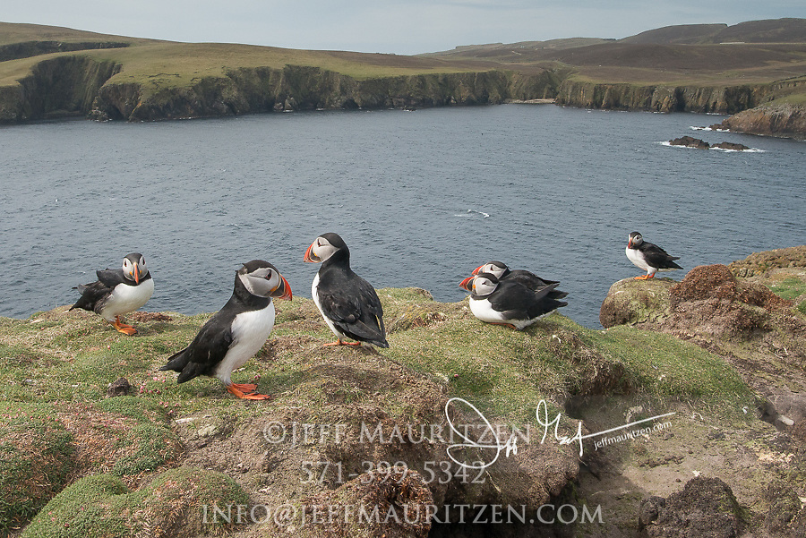 Atlantic puffins stand near their burrows at the edge of a seaside cliff on Fair Isle, Scotland.