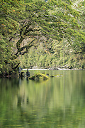 Beneath the overhang of the tree, a peaceful river reflects the still forest.  Fiordland National Park.