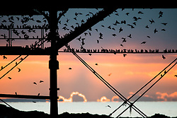 © Licensed to London News Pictures. 2/1/2017. Aberystwyth, Wales, UK. After an extremely cold , clear and frosty day , thousands of tiny starlings return from the feeding grounds to fly in as the sun sets to roost for the night underneath Aberystwyth's victorian seaside pier on the  west Wales coast of Cardigan Bay .  Photo credit: Keith Morris/LNP