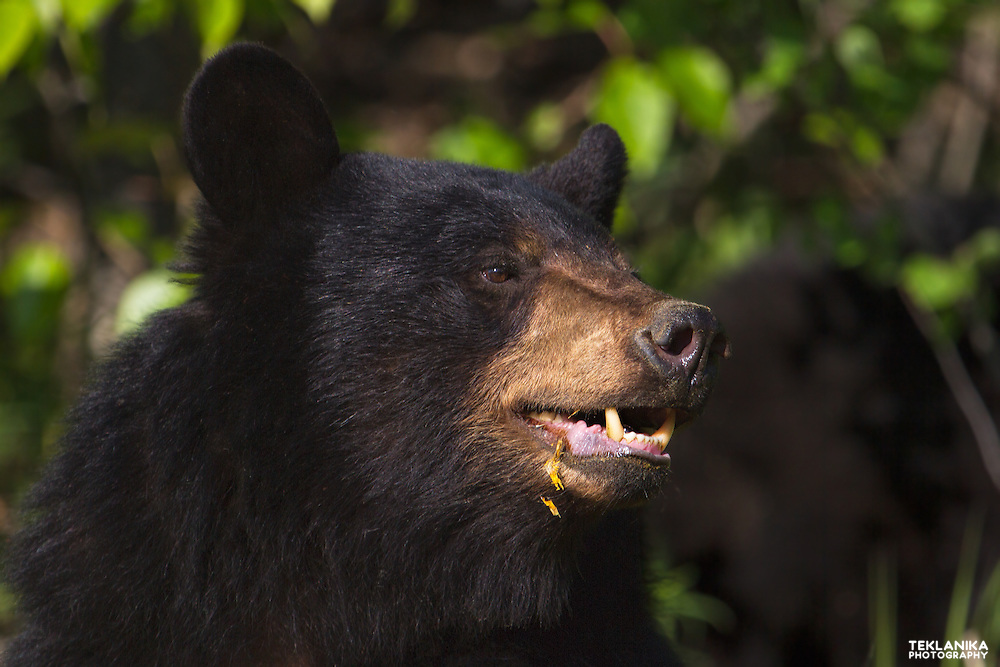 Portrait of a young Alaskan black bear.