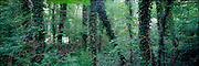 A panoramic image of a dense forest with ivy covered tree trunks