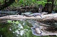 April 4, 2014, Lake Maurepas. Louisiana, an alligator on a log as waves from a boat move by. Alligators are plentiful in the bayous leading to Lake Maurepas, an hour away from New Orleans.