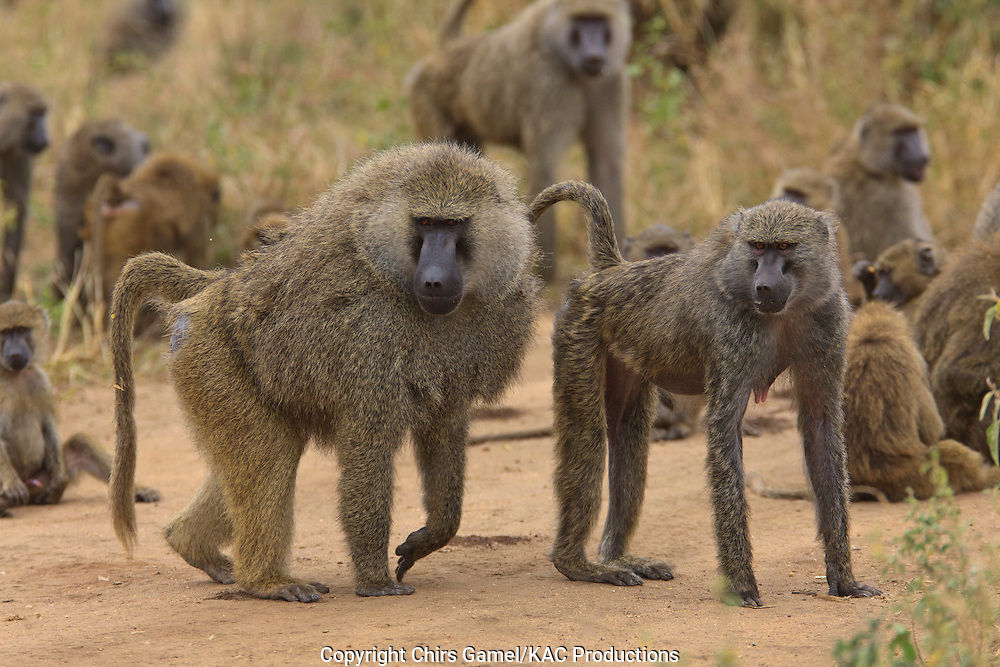 Male and female olive baboons standing together in troop.