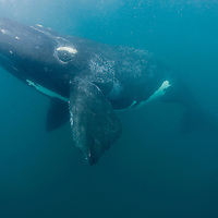 Argentina, Chubut Province, Puerto Piramedes, Underwater view of Southern Right Whale (Eubalaena australis) in shallow bay along Peninsula Valdes in Atlantic Ocean coastline