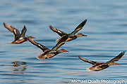 Flight of Northern Shovelers after taking off from Mono Lake