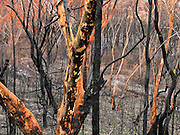 Fire is a necessary and natural part of the lifecycle of eucalyptus forest, to the dismay of people in adjacent cities. Ku-ring-gai Chase National Park, 25 km north of Sydney, in New South Wales, Australia.